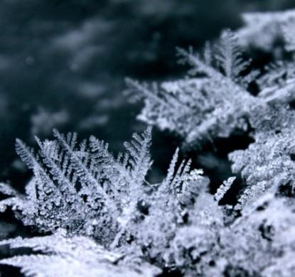 frost flower, frost, ice, flower